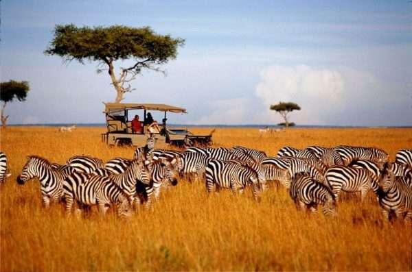 Волонтёры в национальном парке Кении на фоне стада зебр